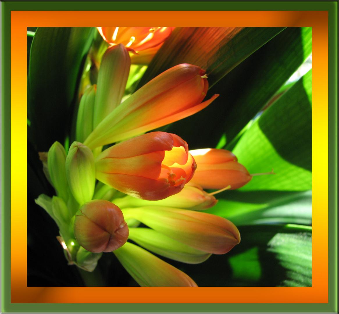 Clivia - beauté rayonnante