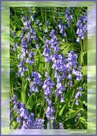 Clochettes bleues / Blaue Glöckchen
