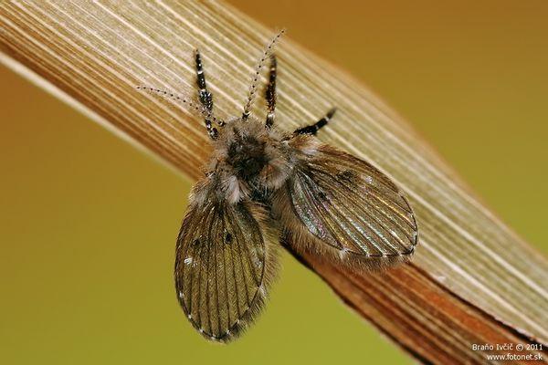 Clogmia albipunctatus - mucha