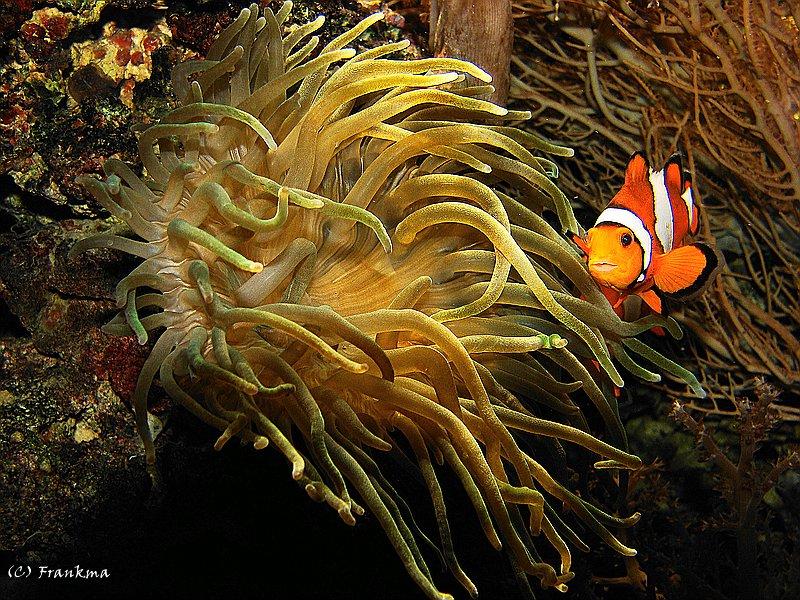 Clonefisch mit Anemone