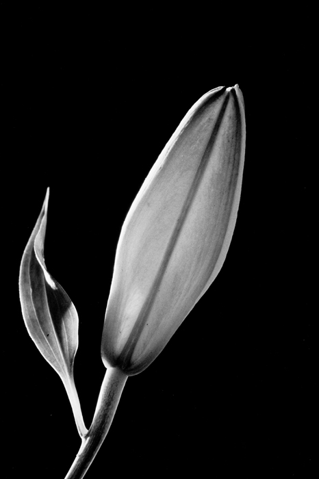 Closed Lily