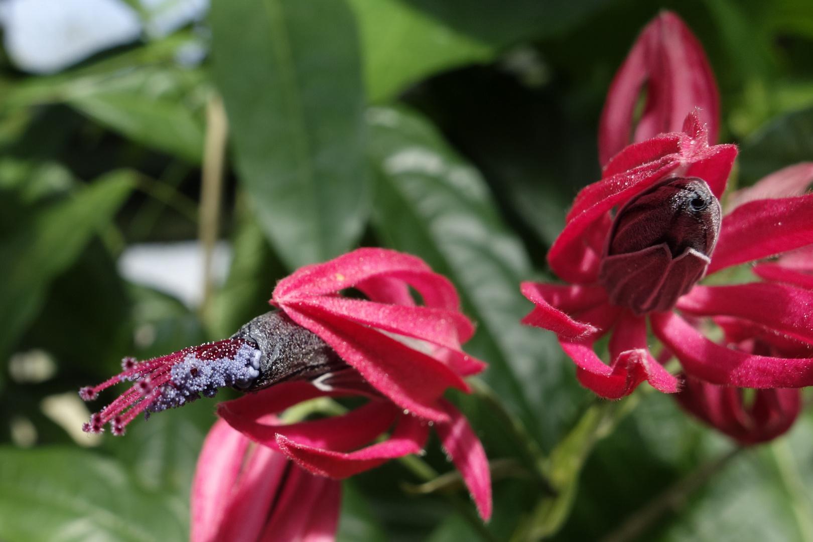 Closeup einer Pavonie