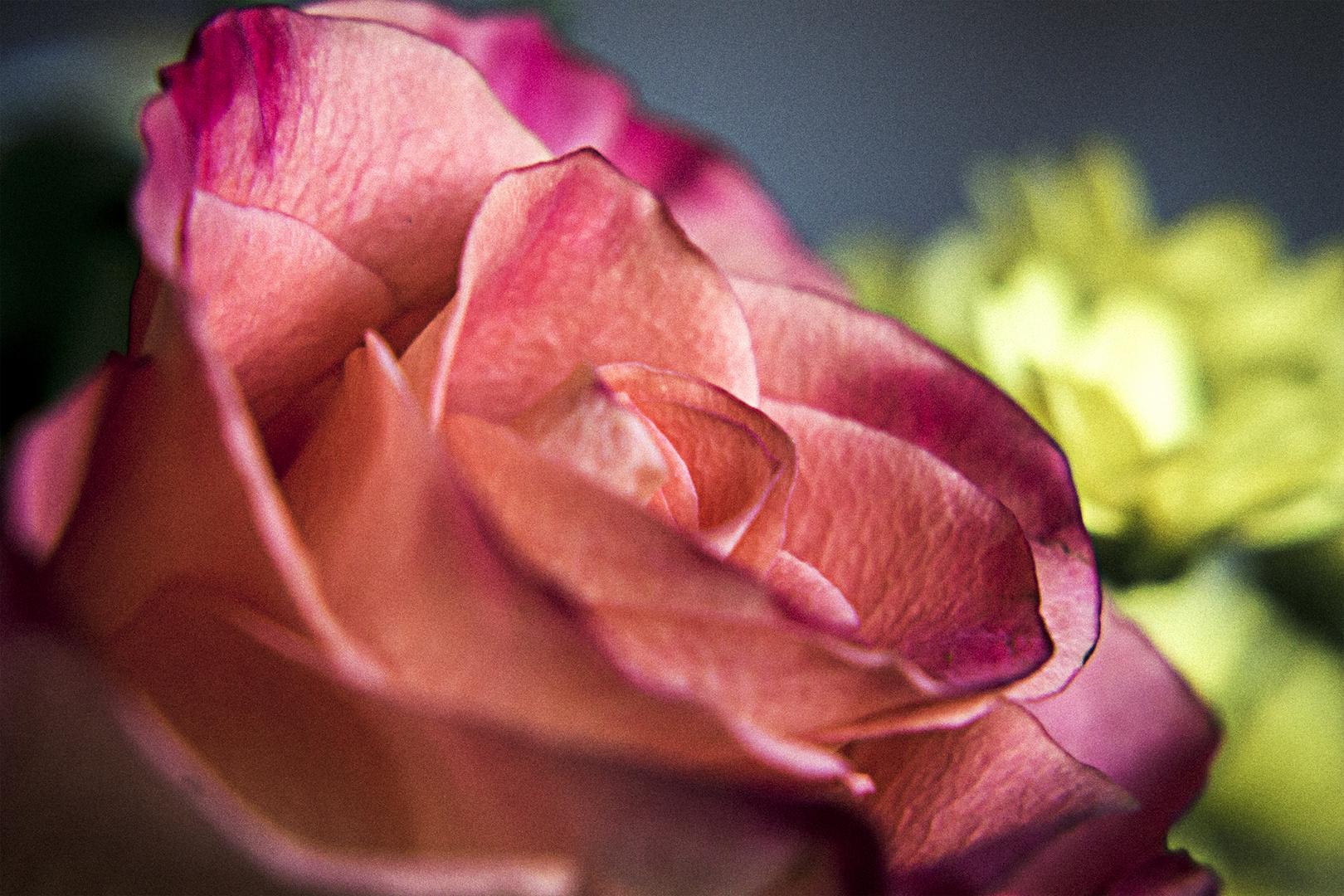 Closeup Rose...