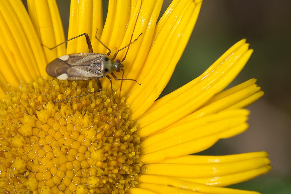 Closterotomus fulvomaculatus ?