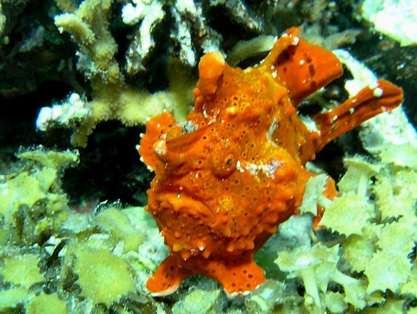 Clown Frogfish (Clown Anglerfisch)