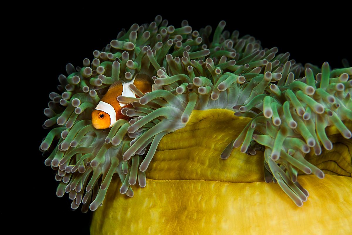 Clownfisch 3