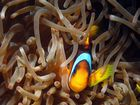 Clownfisch in seiner Anemone