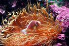 Clownfisch Nemo