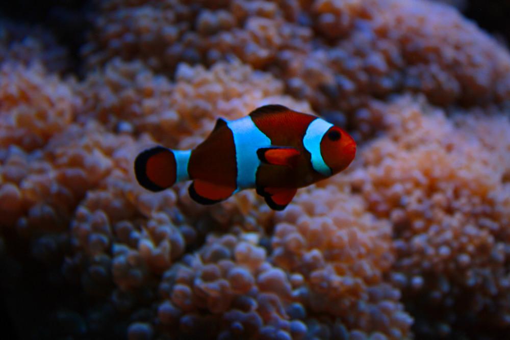 Clownsfisch - Zoo Osnabrück