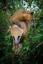 Coati-Nasenbear
