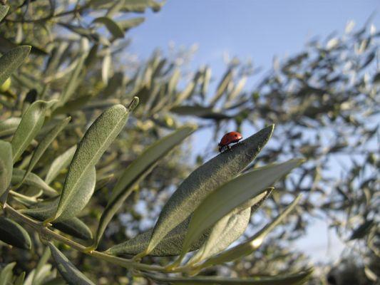 Coccinel sur olivier.