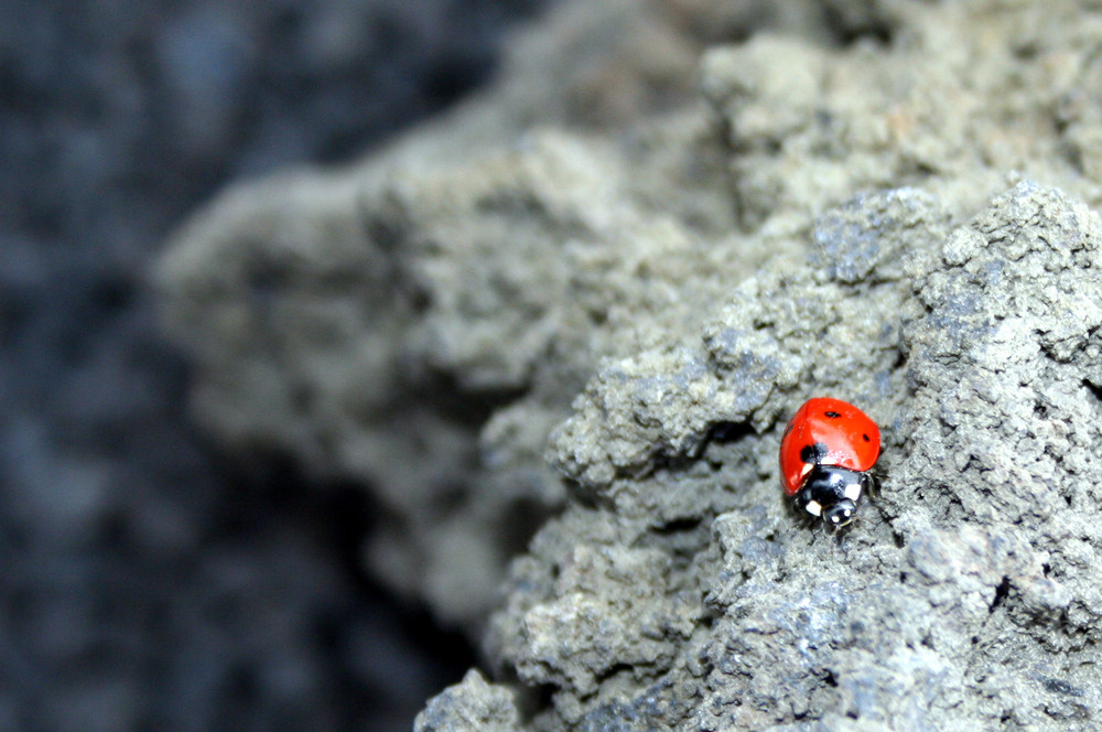 Coccinella dell'Etna