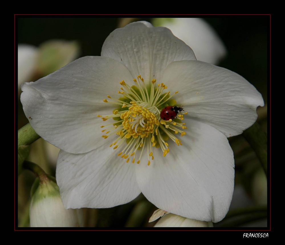 Coccinella di primavera