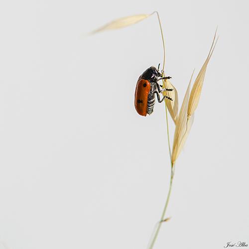 Coccinella septempunctata (Mariquita de siete puntos)