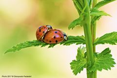 Coccinelle (The leaf of love)