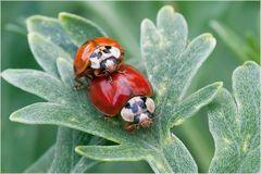 Coléoptères