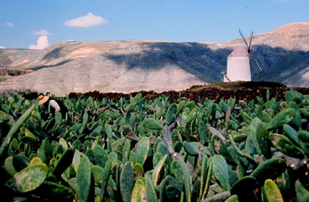 Cochinille-Farm bei La Haria (Lanzarote)