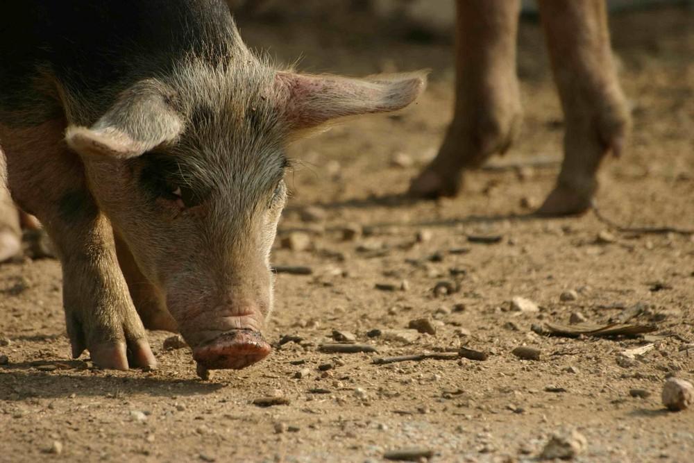 Cochon en Corse