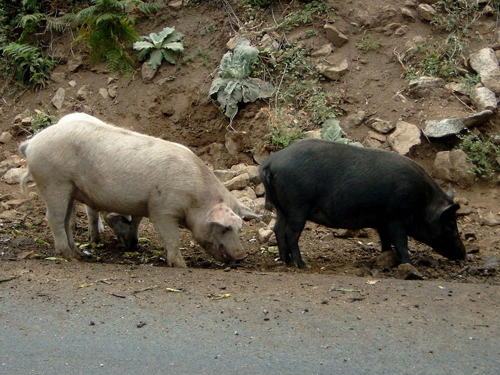 Cochon sauvage de Corse