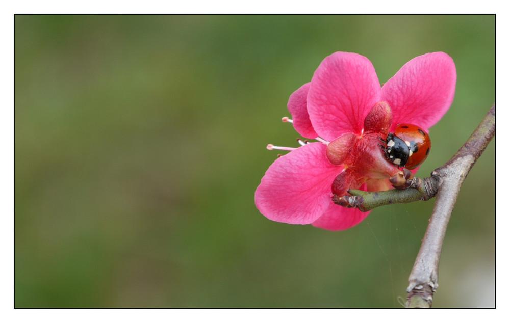 cocinella-fiore
