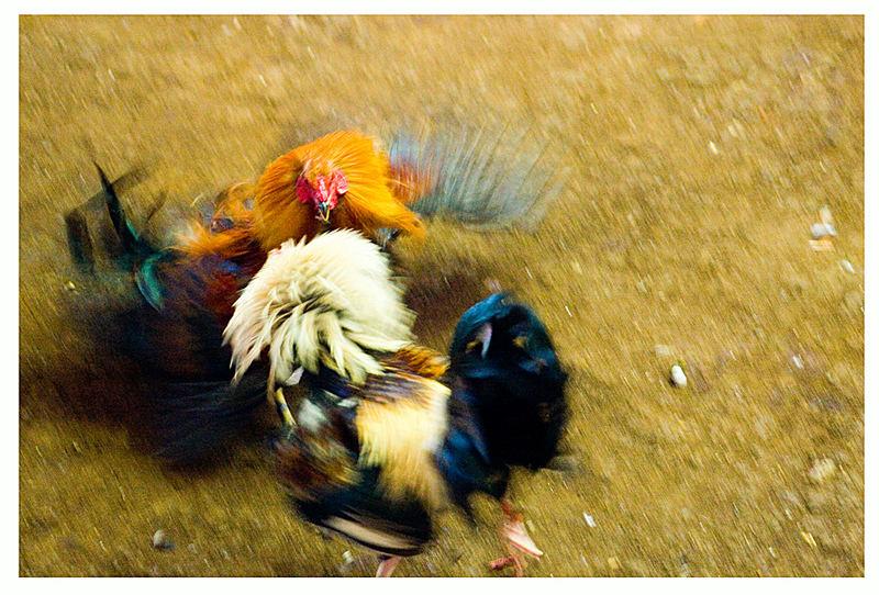 Cock - Fighting - Camiguin Island