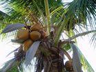 Coco - Palme