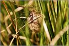 Cocon der Wespenspinne