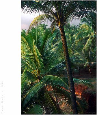Coconut dreams