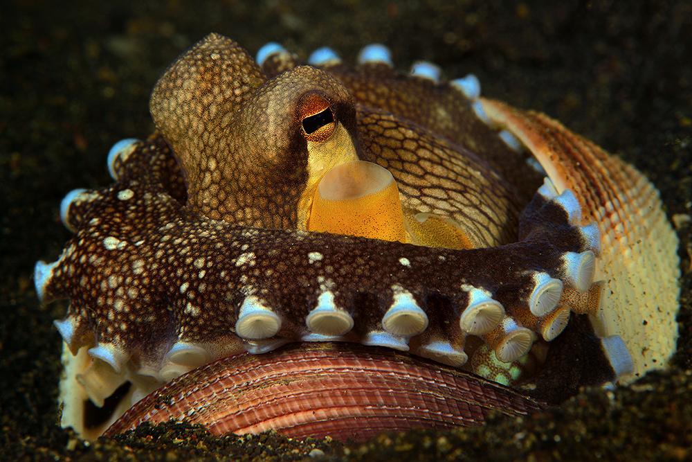 Coconut-Octopus