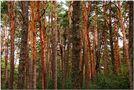 Código de barras con pino silvestre by groc