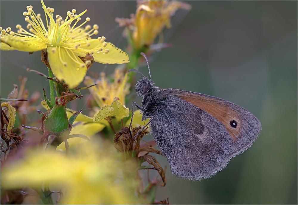 - Coenonympha pamphilus -