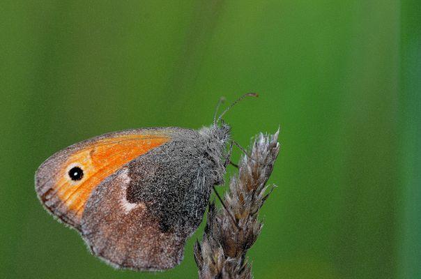 Coenonympha pamphilus Lepidoptera Nymphalidae