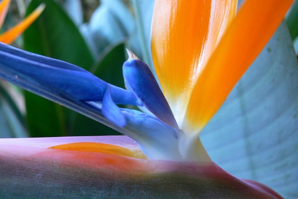 """coeur d' """"oiseau de paradis"""""""
