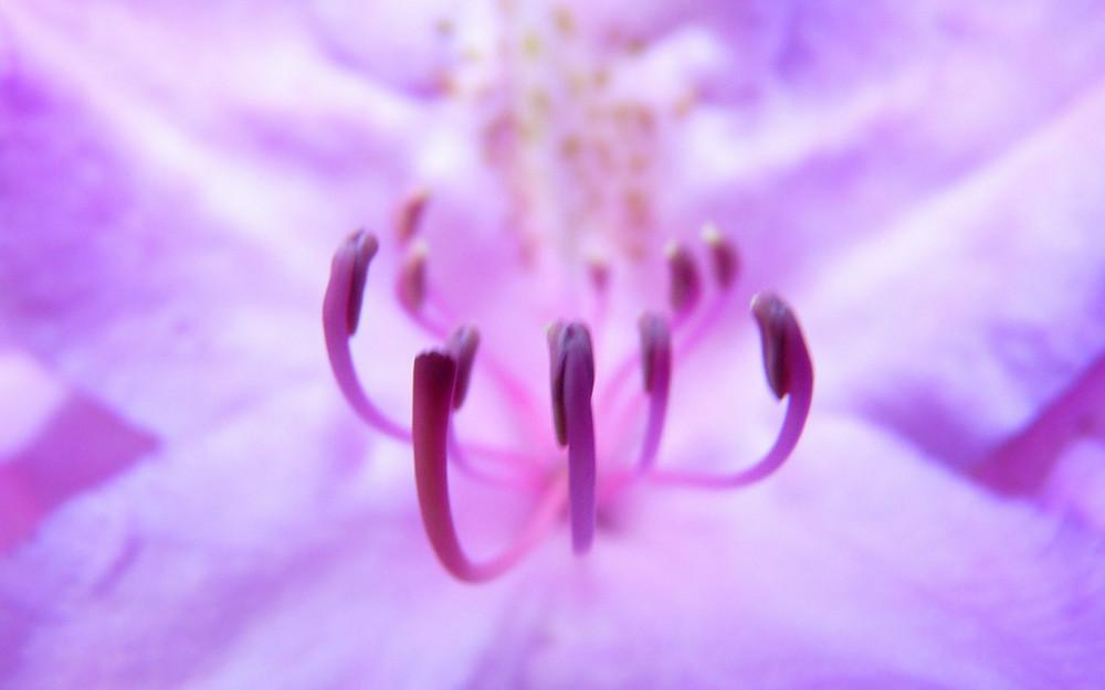 Coeur d'azalée (Parc de l'Haye les roses)