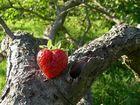 Coeur de fraise.
