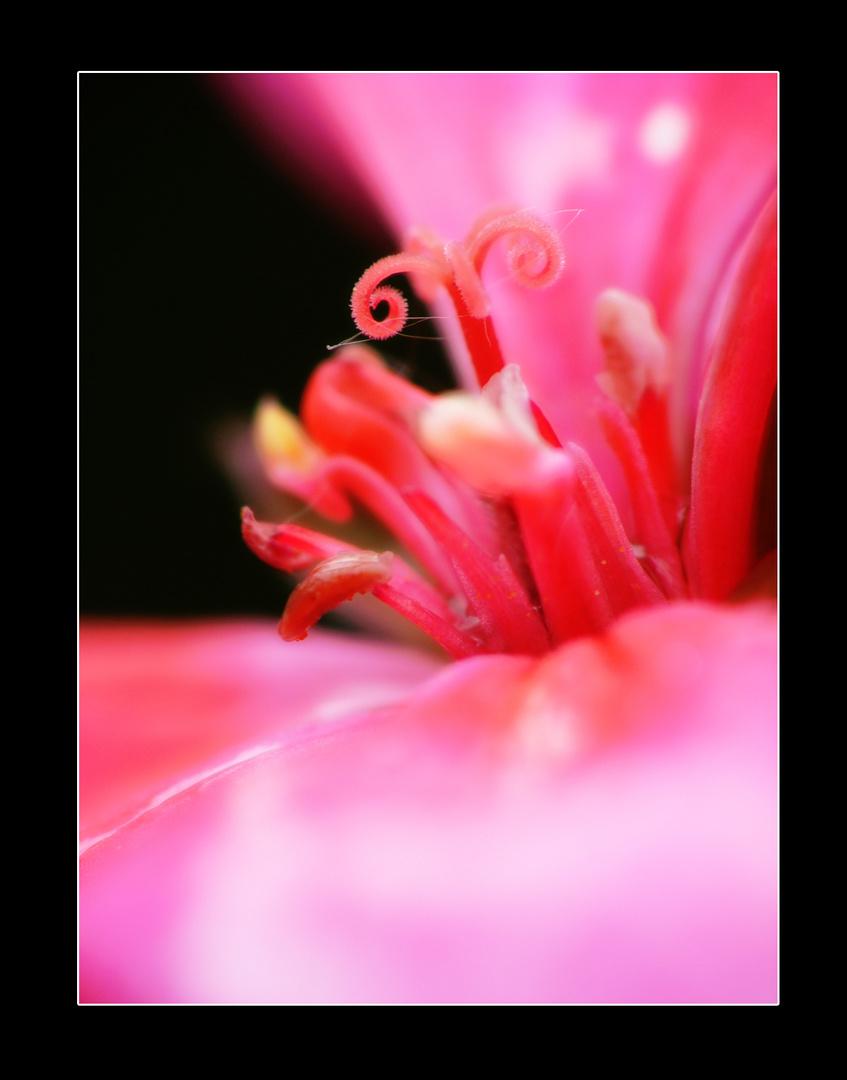 Coeur de geranium