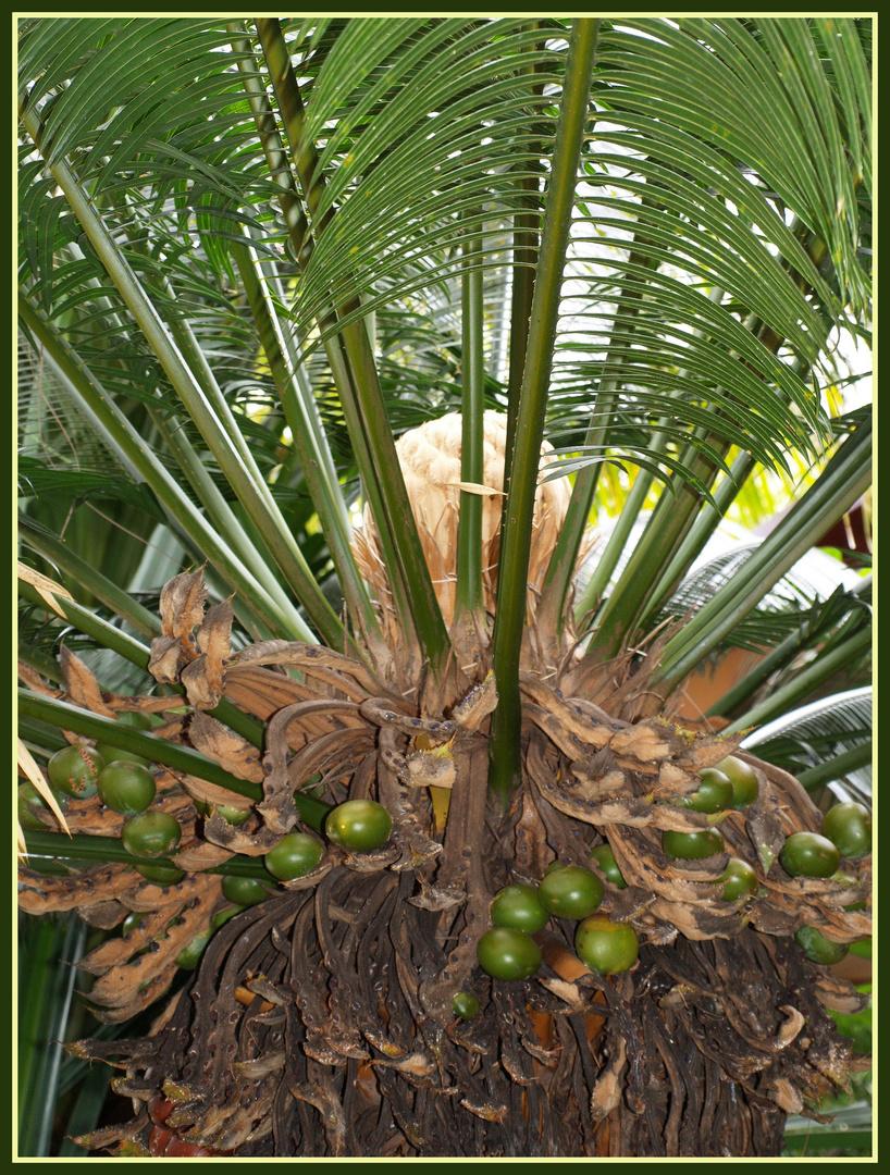 Coeur de palmier palmherzen photo et image arbres - Image palmier ...