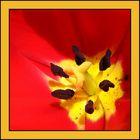 Coeur de tulipe.