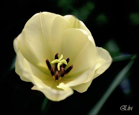 coeur de tulipe -