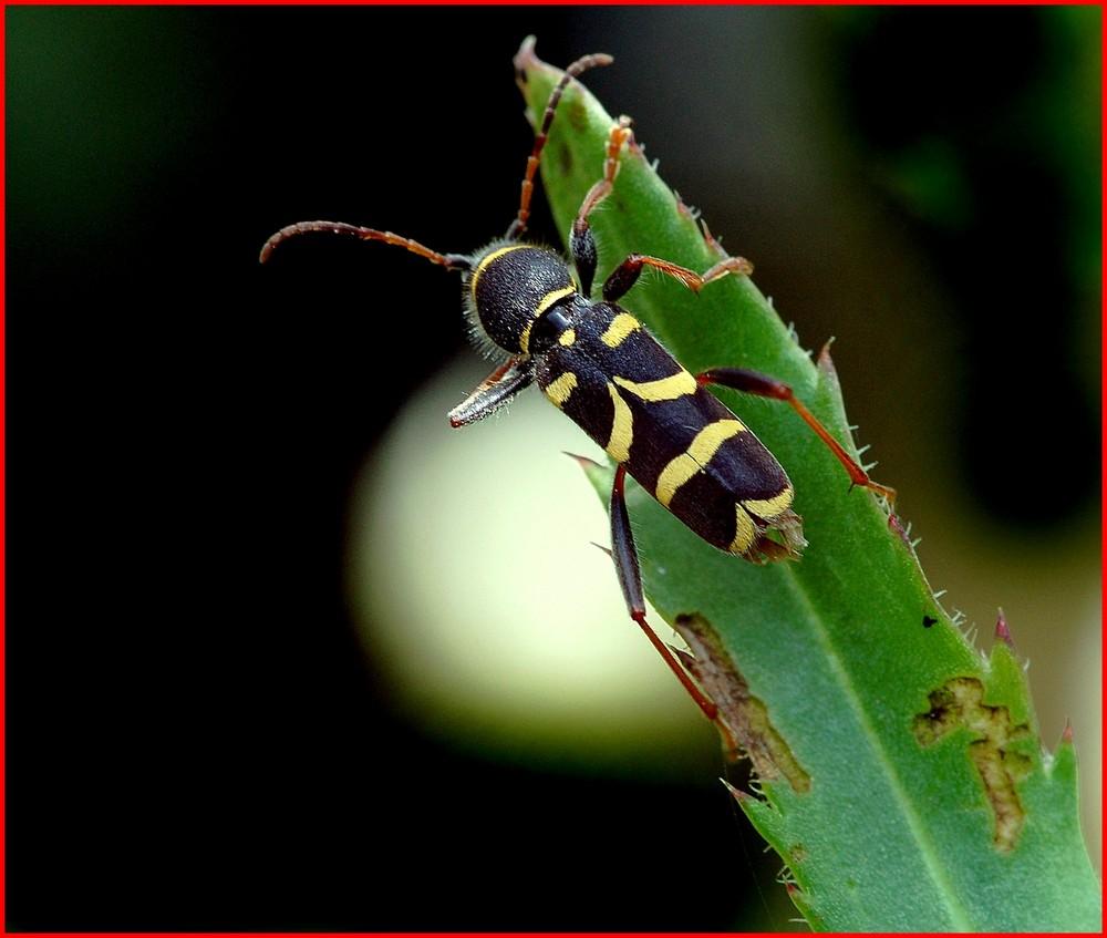 "Coléoptère "" Cérambycide clytus arietis "" ."