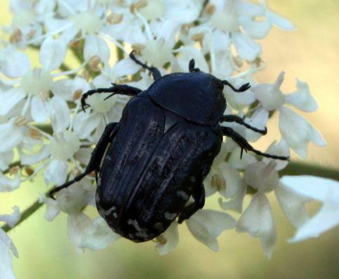 Coléoptère- Cetonidae - Oxythyrea funesta