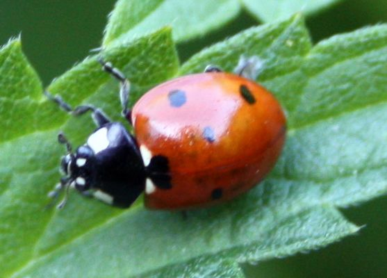 Coléoptère-Coccinellidae-Coccinella septempunctata