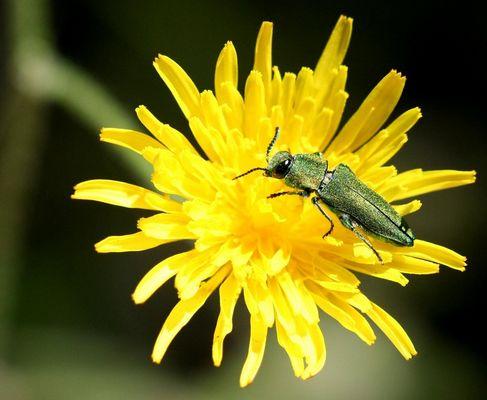 Coleoptere-Mâle-Anthaxia-Nitidula