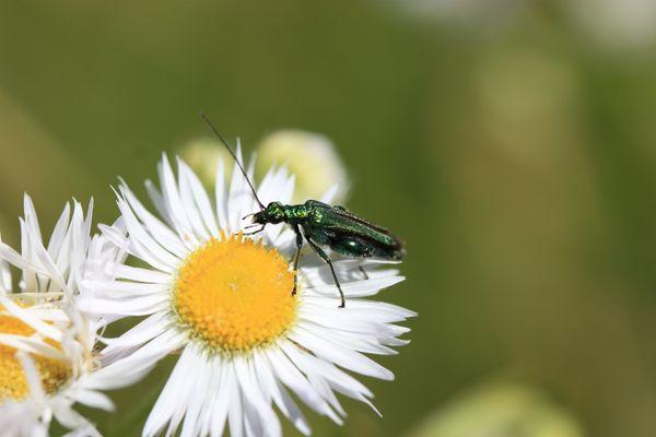 Coléoptère-Oedemeridae-Oedemera nobilis