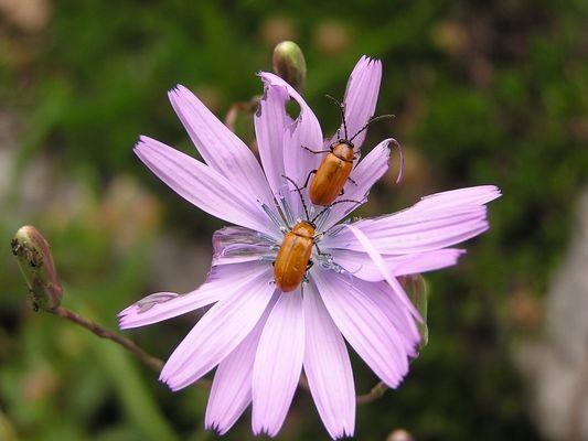 Coléoptères sur une fleur de chicorée