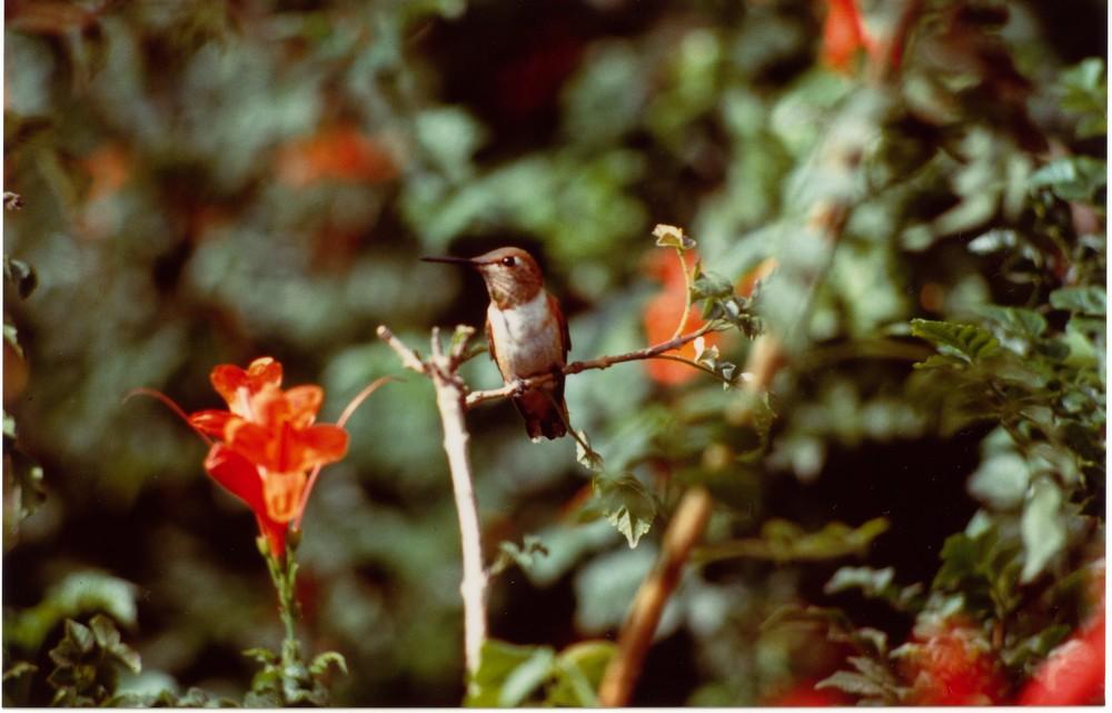 colibrì nel suo habitat