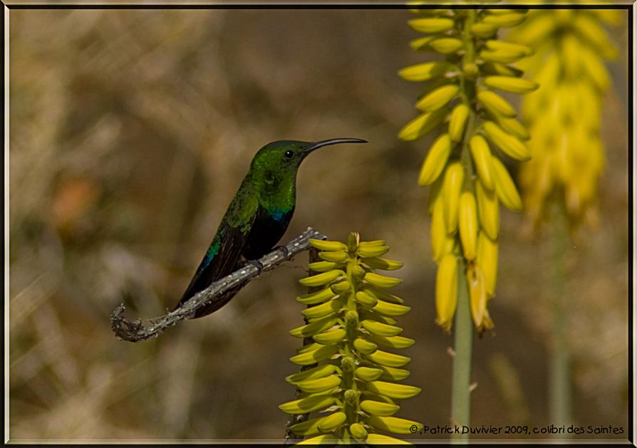 Colibri au repos