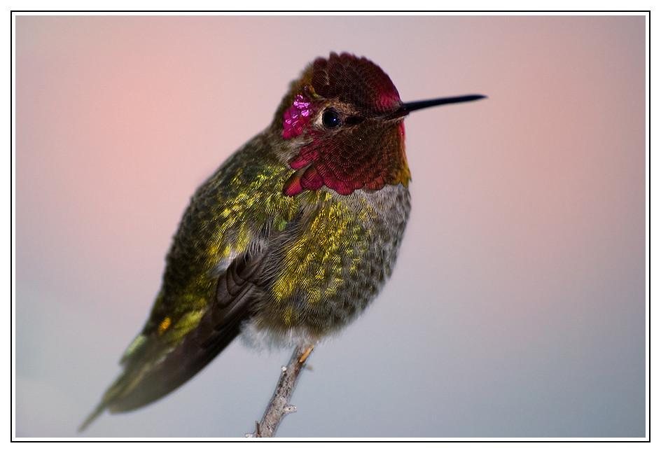 Colibri d'Anna ou colibri de Californie