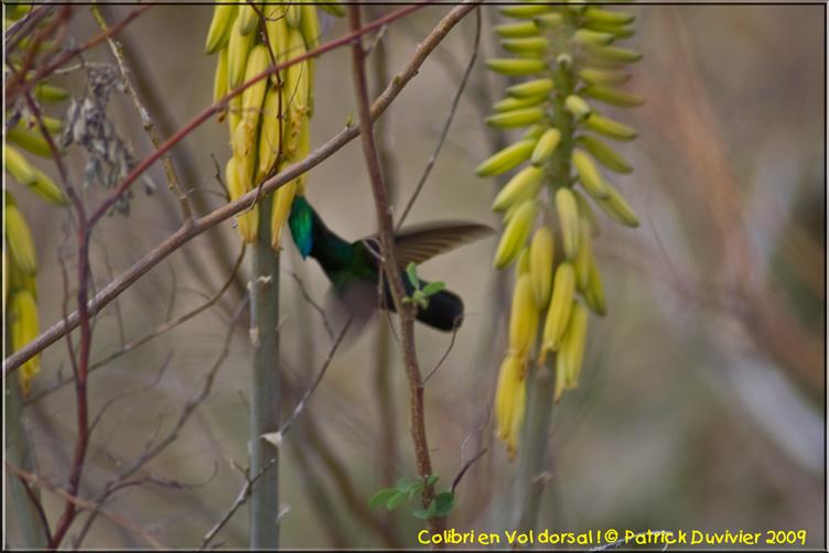 Colibri en vol dorsal