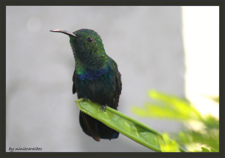 colibri fale vert